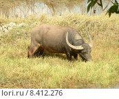 Купить «buffalo syncerus caffer kaffernb ffel», фото № 8412276, снято 21 мая 2018 г. (c) PantherMedia / Фотобанк Лори