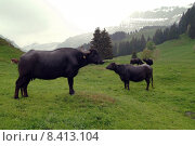 Купить «group dairy cattle switzerland emmental», фото № 8413104, снято 23 октября 2018 г. (c) PantherMedia / Фотобанк Лори