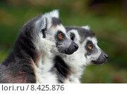 Купить «young animal mammal monkey lemures», фото № 8425876, снято 22 апреля 2019 г. (c) PantherMedia / Фотобанк Лори