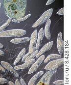 Купить «einzeller protozoen pantoffeltierchen culture microscope», фото № 8428184, снято 19 сентября 2019 г. (c) PantherMedia / Фотобанк Лори