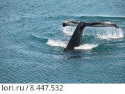 Купить «arctic whale greenland buckelwal diskobucht», фото № 8447532, снято 25 апреля 2019 г. (c) PantherMedia / Фотобанк Лори