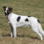 Купить «dog mix hound mongrel greyhound», фото № 8452232, снято 4 апреля 2020 г. (c) PantherMedia / Фотобанк Лори