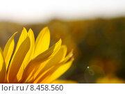 Лепестки подсолнуха. Стоковое фото, фотограф Майя Галенко / Фотобанк Лори
