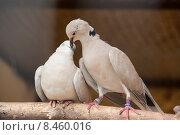 Любовь и голуби. Стоковое фото, фотограф Константин Дёмочкин / Фотобанк Лори