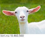 Купить «Портрет белой молодой козочки на фоне зеленой травы», фото № 8460560, снято 26 июля 2015 г. (c) Екатерина Овсянникова / Фотобанк Лори