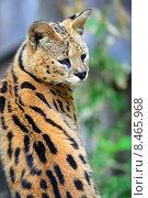 Купить «Сервал в дикой природе», фото № 8465968, снято 17 декабря 2012 г. (c) Эдуард Кислинский / Фотобанк Лори