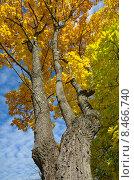 Купить «Осенний клен», эксклюзивное фото № 8466740, снято 17 июля 2018 г. (c) Елена Коромыслова / Фотобанк Лори