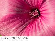 Мальва розовая. Стоковое фото, фотограф Роман Гурков / Фотобанк Лори