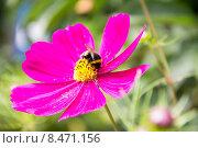 Полосатый шмель собирает пыльцу на цветке космеи. Стоковое фото, фотограф Дудакова / Фотобанк Лори