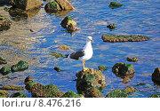 Морская чайка. Стоковое фото, фотограф DMITRII KUDASOV / Фотобанк Лори