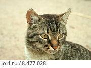 Портрет серого кота. Стоковое фото, фотограф Ирина Новак / Фотобанк Лори