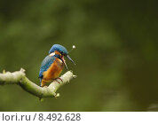 Купить «blue orange turquoise kingfishers kingfisher», фото № 8492628, снято 5 июля 2020 г. (c) PantherMedia / Фотобанк Лори