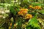 Еловые опята на дереве, фото № 8496912, снято 2 августа 2015 г. (c) Юрий Морозов / Фотобанк Лори