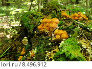 Еловые опята на дереве. Стоковое фото, фотограф Юрий Морозов / Фотобанк Лори