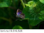 Купить «butterfly moth bluer eichenzipfelfalter quercus», фото № 8516928, снято 15 июля 2020 г. (c) PantherMedia / Фотобанк Лори