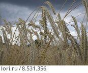 Купить «grain wheat cereal barley weizenkorn», фото № 8531356, снято 23 августа 2019 г. (c) PantherMedia / Фотобанк Лори