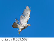 Купить «Hawk», фото № 8539508, снято 15 октября 2019 г. (c) PantherMedia / Фотобанк Лори
