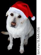 Купить «Dog with Santa Claus hat», фото № 8564056, снято 26 июня 2019 г. (c) PantherMedia / Фотобанк Лори