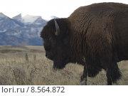 Купить «canada buffalo bison gregarious animal», фото № 8564872, снято 26 марта 2019 г. (c) PantherMedia / Фотобанк Лори