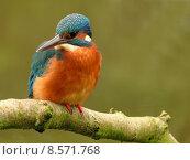 Купить «nature fauna disposition kingfishers 2009», фото № 8571768, снято 24 мая 2019 г. (c) PantherMedia / Фотобанк Лори