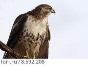 Купить «Red-tailed Hawk», фото № 8592208, снято 15 октября 2019 г. (c) PantherMedia / Фотобанк Лори