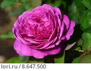 Купить «Роза флорибунда Хайди Клум Роуз (лат. Heidi Klum Rose), RosenTantau 2006», эксклюзивное фото № 8647500, снято 7 августа 2015 г. (c) lana1501 / Фотобанк Лори