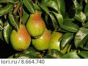 Купить «fruit garden ripe harvest bulb», фото № 8664740, снято 19 августа 2019 г. (c) PantherMedia / Фотобанк Лори