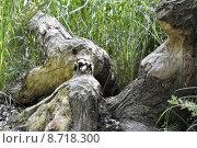 Купить «tree aggrieved gnaw beaver biberfra», фото № 8718300, снято 22 июня 2018 г. (c) PantherMedia / Фотобанк Лори