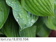 Капли на листе. Стоковое фото, фотограф Аня Шумкова / Фотобанк Лори