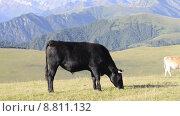 Купить «Быки (коровы) пасутся на высокогорном (альпийском) лугу на Северном Кавказе на фоне высоких гор», эксклюзивный видеоролик № 8811132, снято 9 августа 2015 г. (c) Алексей Бок / Фотобанк Лори