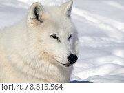 Купить «Arctic Wolf», фото № 8815564, снято 25 апреля 2019 г. (c) PantherMedia / Фотобанк Лори