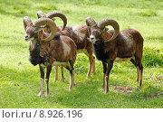 Купить «mufflons mufflon schafe rner natur», фото № 8926196, снято 16 июля 2019 г. (c) PantherMedia / Фотобанк Лори