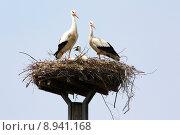 Купить «young offspring nest stork squabs», фото № 8941168, снято 20 января 2020 г. (c) PantherMedia / Фотобанк Лори