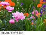 Купить «garden gardens poppy iris flower», фото № 8949584, снято 23 марта 2018 г. (c) PantherMedia / Фотобанк Лори