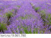Купить «Лавандовое поле, Крым», фото № 9061780, снято 27 июня 2015 г. (c) Наталья Волкова / Фотобанк Лори