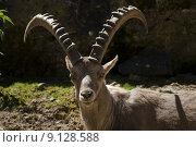 Купить «alps cornets capricorn animal mountain», фото № 9128588, снято 19 января 2020 г. (c) PantherMedia / Фотобанк Лори