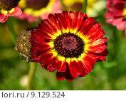 """Купить «Хризантема килеватая, или ладьевидная, или """"трехцветная маргаритка"""" (лат. Chysanthemum carinatum)», эксклюзивное фото № 9129524, снято 5 августа 2015 г. (c) lana1501 / Фотобанк Лори"""