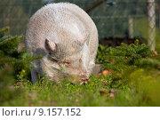 Купить «nature pig domestic husumer minipig», фото № 9157152, снято 25 мая 2019 г. (c) PantherMedia / Фотобанк Лори