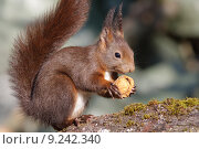 Купить «animal mammal rodent squirrel rnchen», фото № 9242340, снято 20 января 2018 г. (c) PantherMedia / Фотобанк Лори
