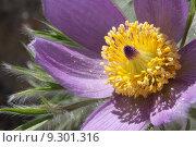 Купить «plant purple violet toxic haired», фото № 9301316, снято 19 февраля 2019 г. (c) PantherMedia / Фотобанк Лори
