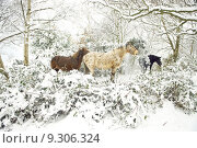 Horses in snow. Стоковое фото, фотограф Andrew Lever / PantherMedia / Фотобанк Лори