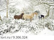 Купить «Horses in snow», фото № 9306324, снято 23 марта 2019 г. (c) PantherMedia / Фотобанк Лори