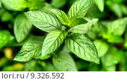 Купить «Peppermint - Mentha piperita also known as M balsamea Willd mint - high dynamic range HDR», фото № 9326592, снято 21 октября 2018 г. (c) PantherMedia / Фотобанк Лори