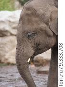 Купить «Asian Elephant - Elephas maximus», фото № 9333708, снято 24 мая 2018 г. (c) PantherMedia / Фотобанк Лори