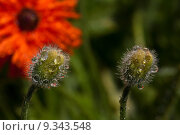Купить «nature plant flower rain poppy», фото № 9343548, снято 23 августа 2019 г. (c) PantherMedia / Фотобанк Лори