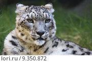 Купить «Snow leopard looking right», фото № 9350872, снято 17 декабря 2018 г. (c) PantherMedia / Фотобанк Лори