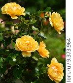 Роза флорибунда Амбер Куин (Янтарная королева) (лат. Amber Queen), Harkness 1983. Стоковое фото, фотограф lana1501 / Фотобанк Лори