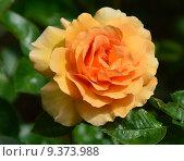 Купить «Роза чайно-гибридная Гарден Глори (лат. Garden Glory), Harkness 1996», эксклюзивное фото № 9373988, снято 17 июля 2015 г. (c) lana1501 / Фотобанк Лори