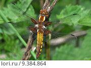 Купить «animal animals insect insects flugtier», фото № 9384864, снято 15 октября 2019 г. (c) PantherMedia / Фотобанк Лори
