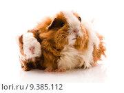 Купить «baby guinea pig», фото № 9385112, снято 25 июня 2018 г. (c) PantherMedia / Фотобанк Лори